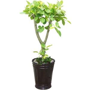 뱅갈고무나무2
